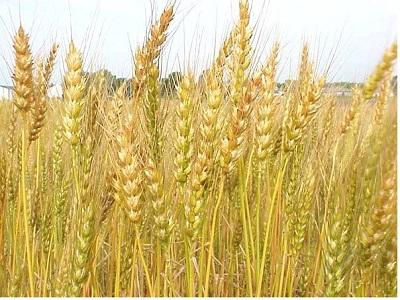 Lúa mì dùng cho gia súc