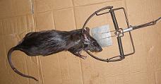Dịch vụ diệt chuột toàn diện giá rẻ