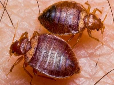 Dịch vụ diệt rệp giường bọ chét