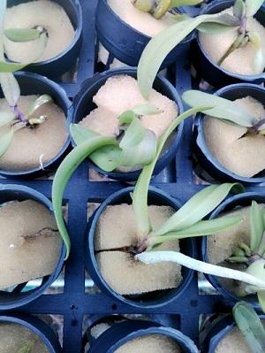 Mút trồng lan